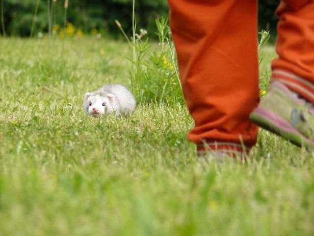 fretka v trávě